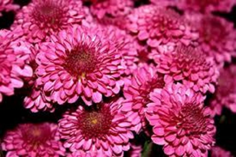 Chrysanthemums – Fascinating Facts About the Gorgeous Flower