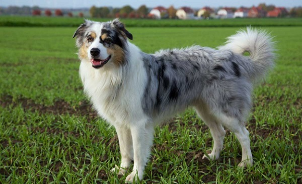The Complete Guide To Australian Shepherd Dogs Breed