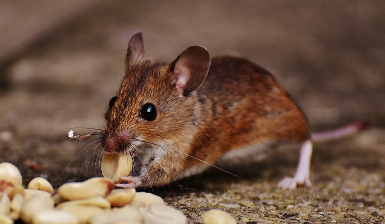 Tips to Identify a Rodent Problem and When to Call for Pest Control in Madison, MS