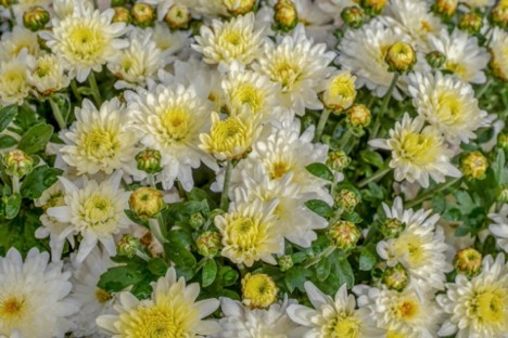 What Does The Chrysanthemum Flower Symbolize?